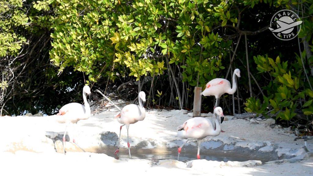 Flamingos bebes